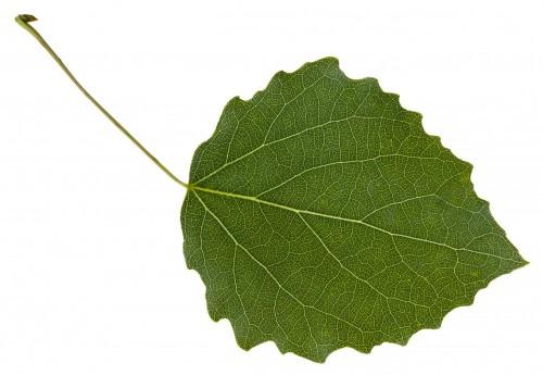 lisc-osiki-populus-tremula-drzewa-na-bialym-tle