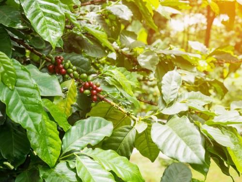 swieze-ziarna-kawy-w-drzewie-rosliny-kawy