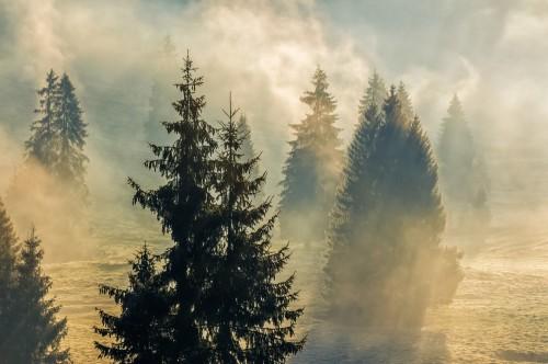 wilgotna-mgla-w-swierkowym-lesie