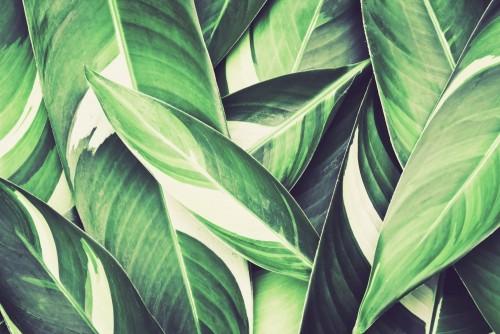 tropikalne-liscie-variegata