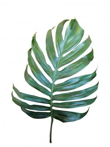 monstera-philodendron-tropikalny-lisc-odizolowywajacy-na-bialym-tle-scinek-sciezka-zawierac