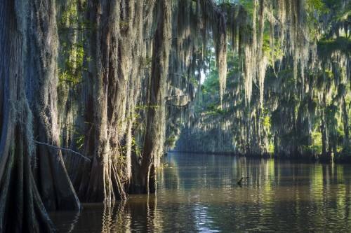 mglista-ranek-bagna-zalewiska-scena-amerykanscy-poludnie-uwypukla-lysych-cyprysowych-drzewa-i-hiszpanskiego-mech-w-caddo-jeziorze-teksas