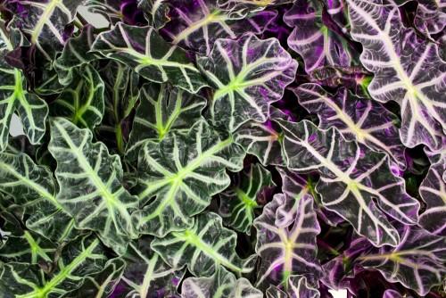 kolorowe-liscie-alokazji