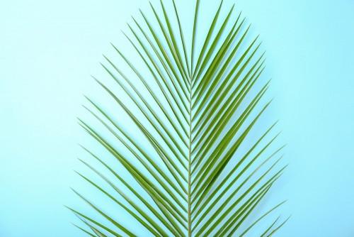 swiezy-tropikalny-daktylowy-palmowy-lisc-na-koloru-tle-odgorny-widok