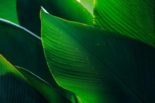 zblizenie-gigantyczni-liscie-dekoraci-roslina-w-ogrodzie-z-swiatlem-slonecznym-dla-zielonego-ulistnienia