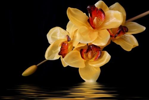 pomaranczowa-orchidea