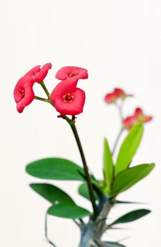 male-kwiaty-euforbii-mili-korona-cierniowa-lub-chrystus