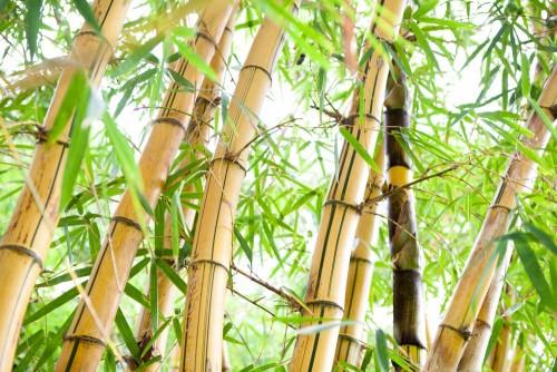the-bambusowy