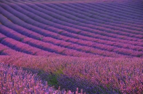 lavendelfeld-lawendowe-pole-04