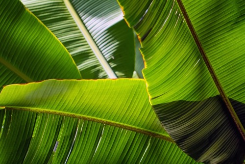 bananowy-lisc