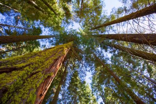 wielkie-sekwoje-w-kalifornii-widok-pni-i-koron-drzew