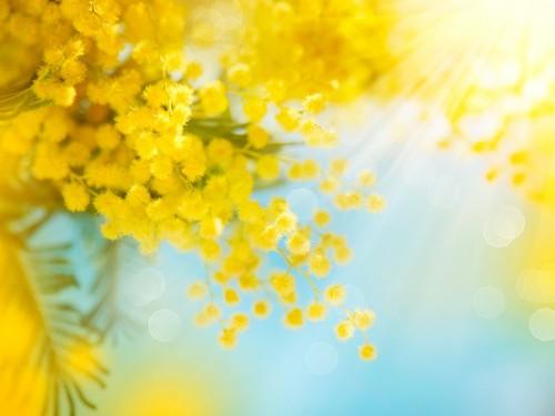 intensywnie-zolte-kwiaty-mimozy-na-niebieskim-tle-nieba