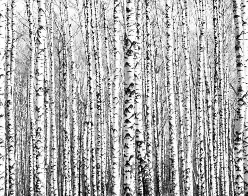 pnie-drzew-brzozy-czarno-biale