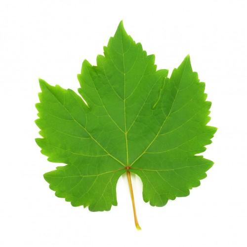 swiezy-zielony-winogrono-lisc-odizolowywajacy-na-bialym-tle