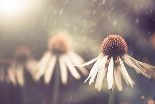 letni-kwiat-w-deszczu