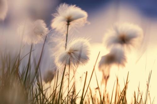 kwiaty-polne