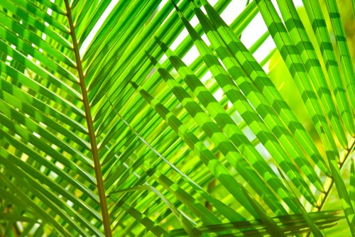 lisci-palmowych-makro-zielone-liscie-tlo